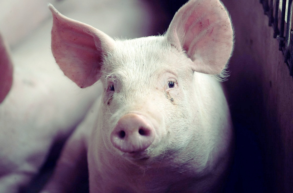 Lab-grown lungs successfully transplanted into a pig